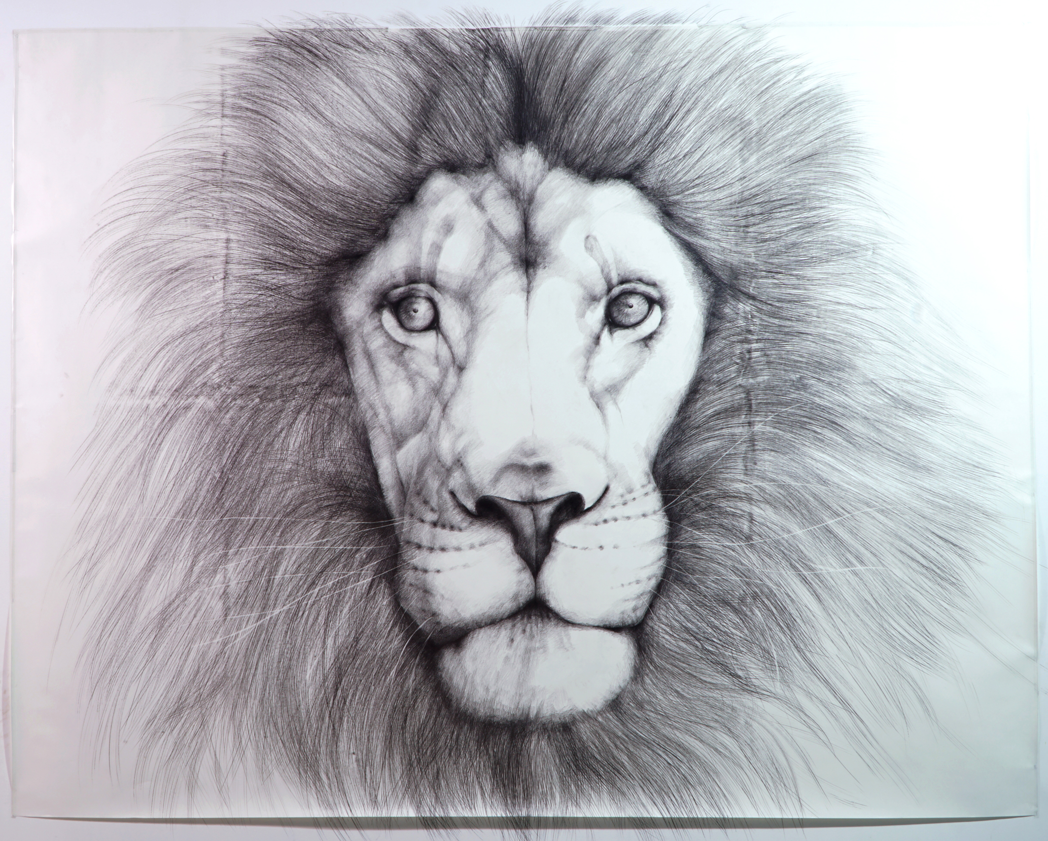 「lion 」3700×2700 pencil on peper  2016